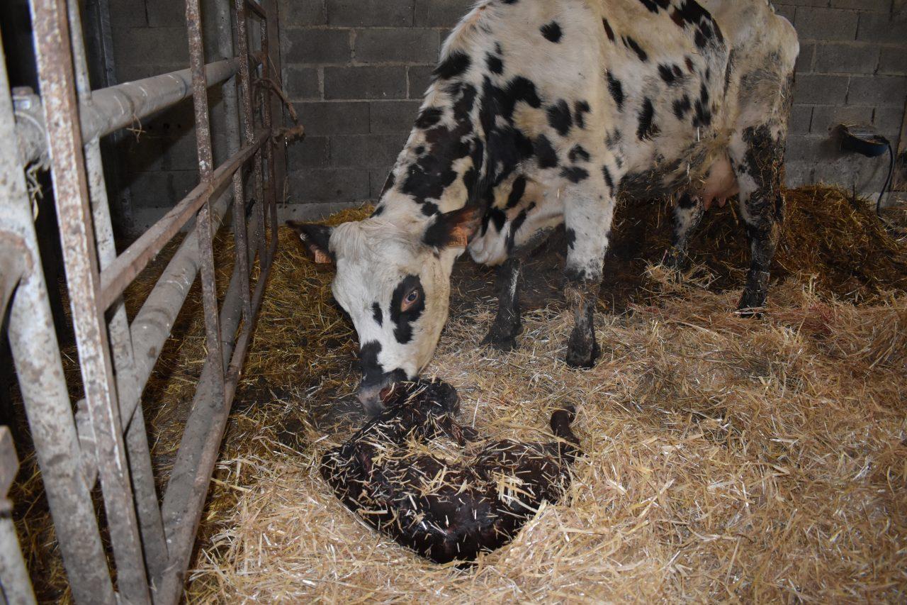 Vêlage de notre vache Marguerite