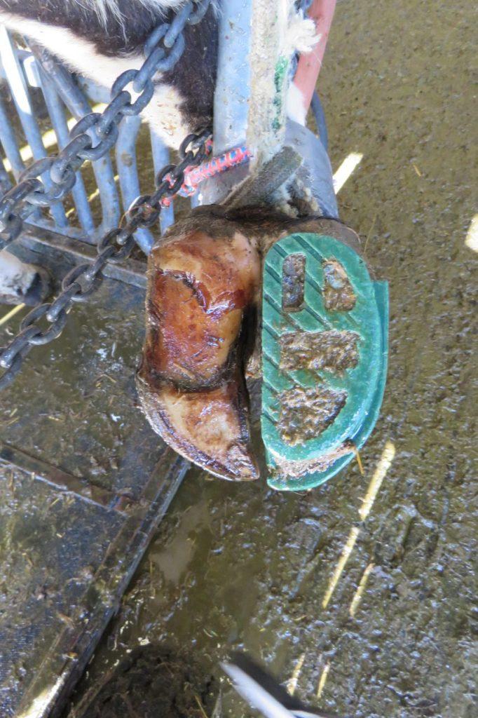 sabot en plastique sur pied de bovin